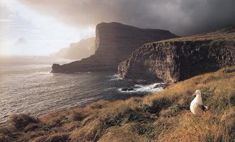 Фотографии Эндриса Эпса. Блуждающий альбатрос. Остров Адаме, Оклендские острова, Новая Зеландия