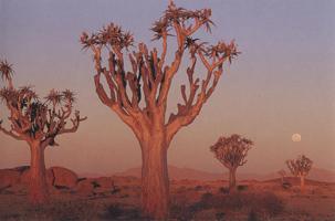 Фотографии Тео Оллофса. Колчанные деревья. Пустыня Намиб, Намибия