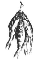 14. А. Барщ. Зарисовка натюрморта «Окуни на кукане». Карандаш