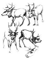 20.Учебные наброски в зоопарке. «Северные олени». Карандаш