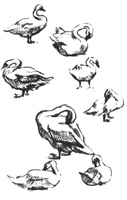 23.Учебные наброски в зоопарке. «Лебеди на берегу». Карандаш