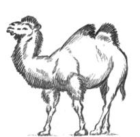 35. Л. Шепелев. Набросок «Верблюд». Карандаш