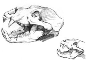 42. Учебная зарисовка черепа льва. Карандаш