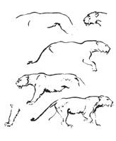 45. А. Лаптев. Последовательное исполнение наброска львицы, шагающей по клетке. Сангина.