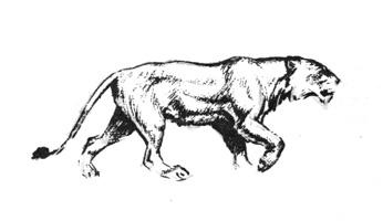 46. А. Лаптев. Последовательное исполнение наброска львицы, шагающей по клетке. Сангина.