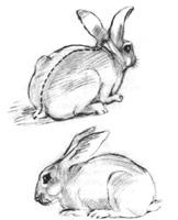 7. Учебная зарисовка чучела кролика. Карандаш
