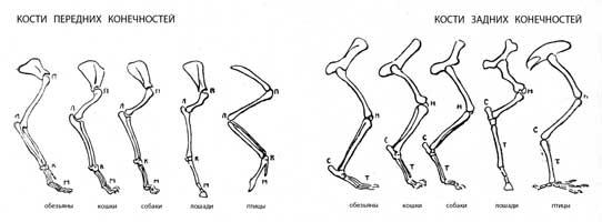 2. Таблица костей передней и задней конечностей обезьяны, кошки, собаки, лошади, птицы (П —плечо, Л—локоть, М — пальцы, Н — колено, С — пятка, Т — стопа)
