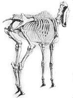 5. А. Лаптев. Скелет лошади в том же положении