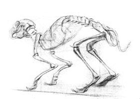 3. Учебная зарисовка скелета кошки