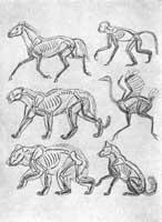 1. В.А. Ватагин. Таблица скелетов и мускулов животных: лошади, обезьяны, пантеры, птицы, медведя, собаки