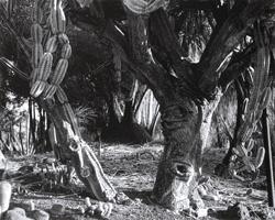 Фотографии Кэтрин Эймс. Пустынный подлесок. Хантин гтонский сад, Лос-Анджелес, Калифорния, США. 1997