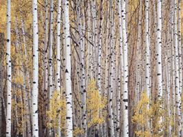 Фотографии Кристофера Беркетта. Осинник. Колорадо, США