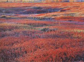 Фотографии Кристофера Беркетта. Восход с осенней брусникой. Мэн, США. 1994