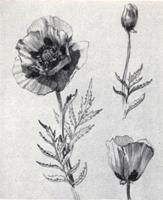 Рисунок 11. Учебная зарисовка карандашом цветка мака