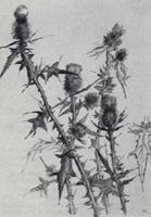 Рисунок 12. А. Барщ. Зарисовка растения карандашом. «Чертополох»