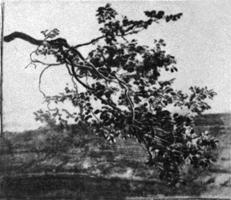 Рисунок 5. А. Иванов. Ветка дерева. X., м.