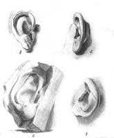 1. Форма уха в разных положениях