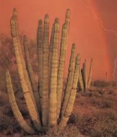 Фотографии Джека Дикинга. Национальный заповедник кактусов «Органная труба», Аризона, США
