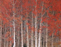 Фотографии Джека Дикинга. Дрожащие осины. Диксилендский лес, Юта, США