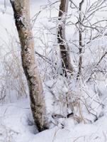 Фотографии Яна Тёве. Березы в снегу