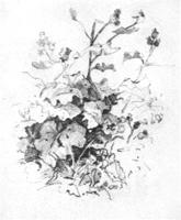 13. Учебная зарисовка растения для первого плана. Карандаш
