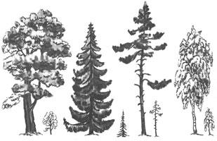 4. Сравнительная схема строения деревьев (дуб, ель, сосна, береза)