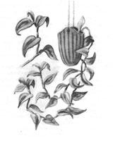 7. А. Барщ. Зарисовка декоративного растения.  «Традексенция». Карандаш, акварель