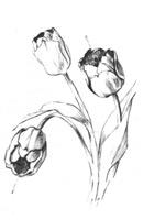 9. А. Барщ. Зарисовка цветка тюльпана. Карандаш