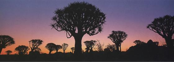 Фотографии Тома Мэкки. Колчанные деревья в сумерках. Намибия