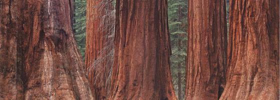 Фотографии Уильяма Нейла. Гигантские секвойи. Роща Марипоза, Йосемитский национальный парк, Калифорния, США. 1993